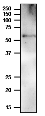 Western blot using anti-PYK10 antibodies