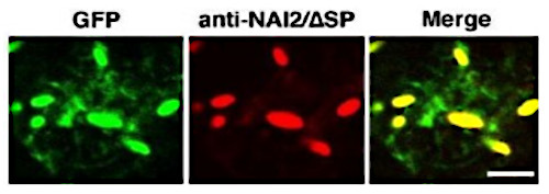 immunolocalisation of NAI2