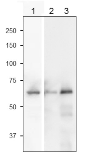 Western blot using anti-SiR antibodies