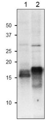 Western blot using anti-global plant ferredoxin antibodies