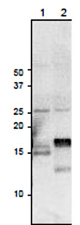 Western blot using anti-Fd3 antibodies