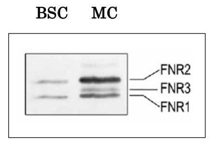 Western blot using anti- plant FNR2 (leaf) antibodies