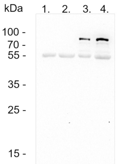 Western blot using anti-BC2-tag antibodies