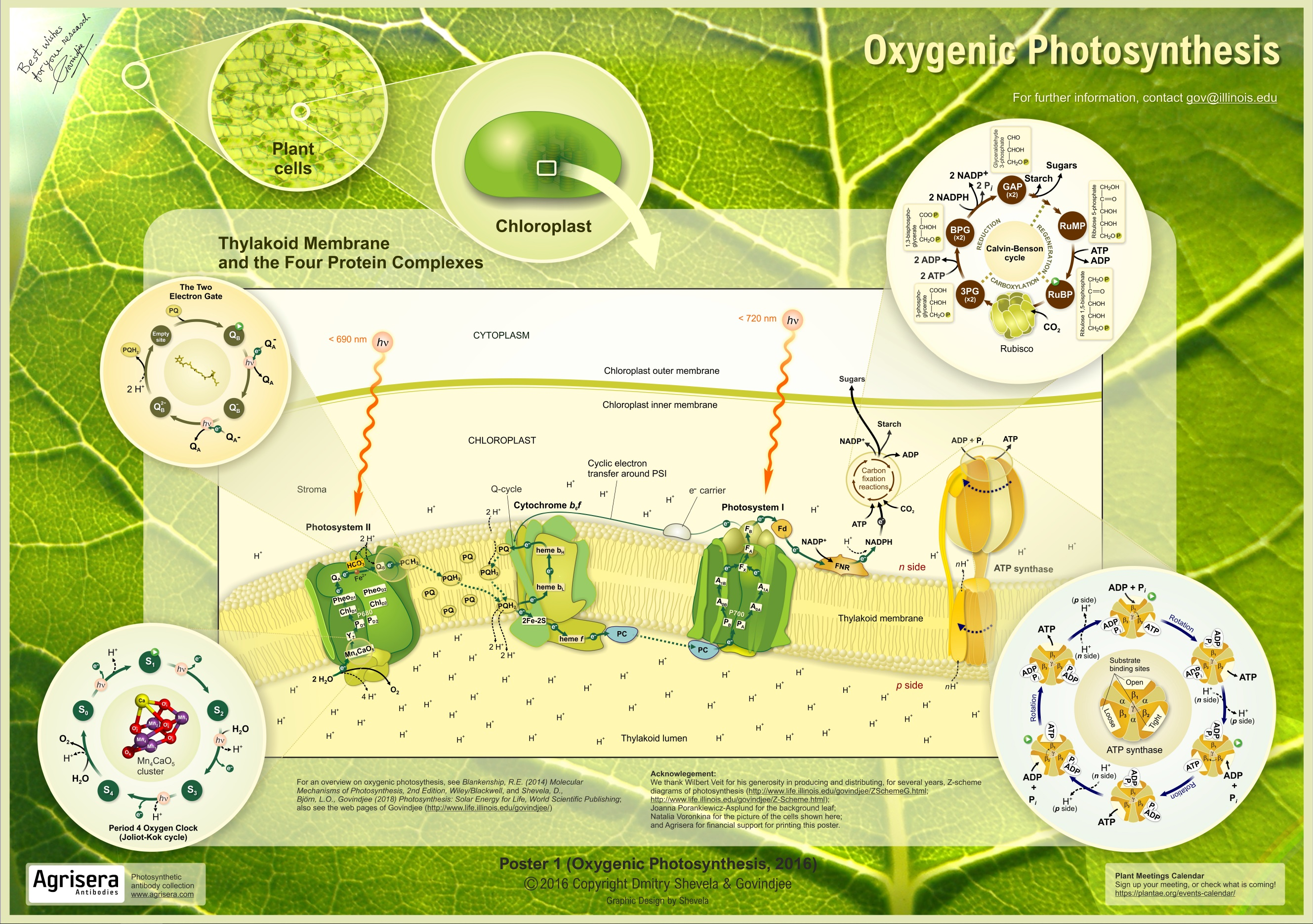 Oxygenetic Photosynthesis
