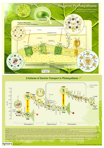Agriseras Photosynthetic Posters