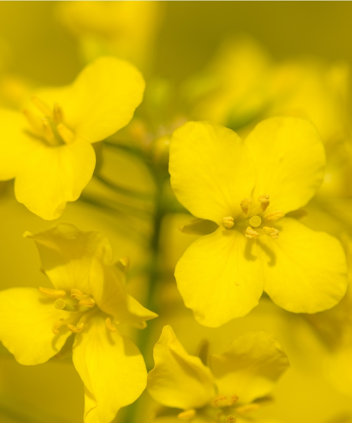 Antibodies to rapeseed proteins