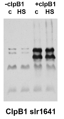 western blot detection of slr1641 protein