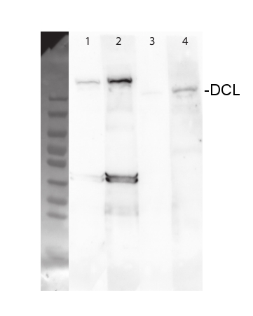 western blot using anti-DCL3 antibodies
