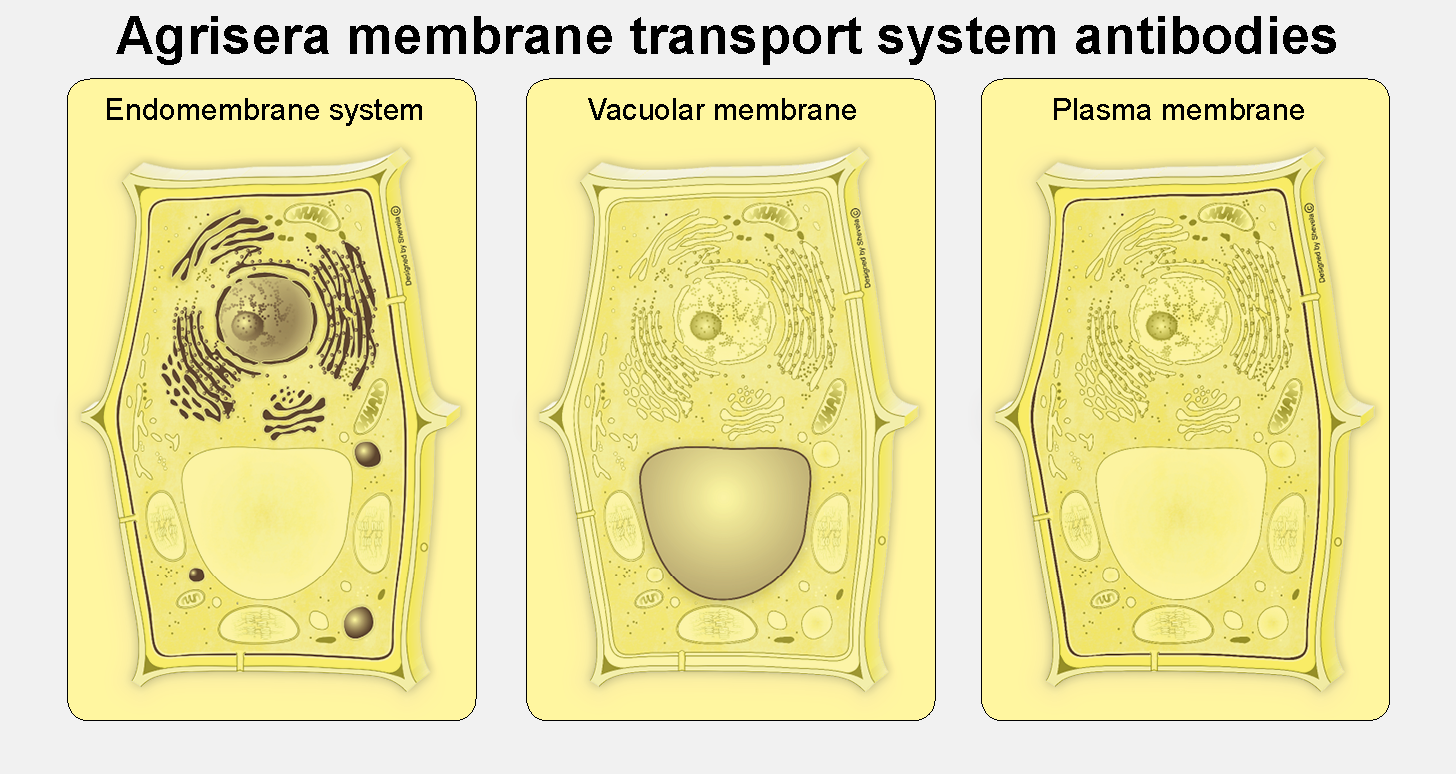 Membrane transport system antibodies