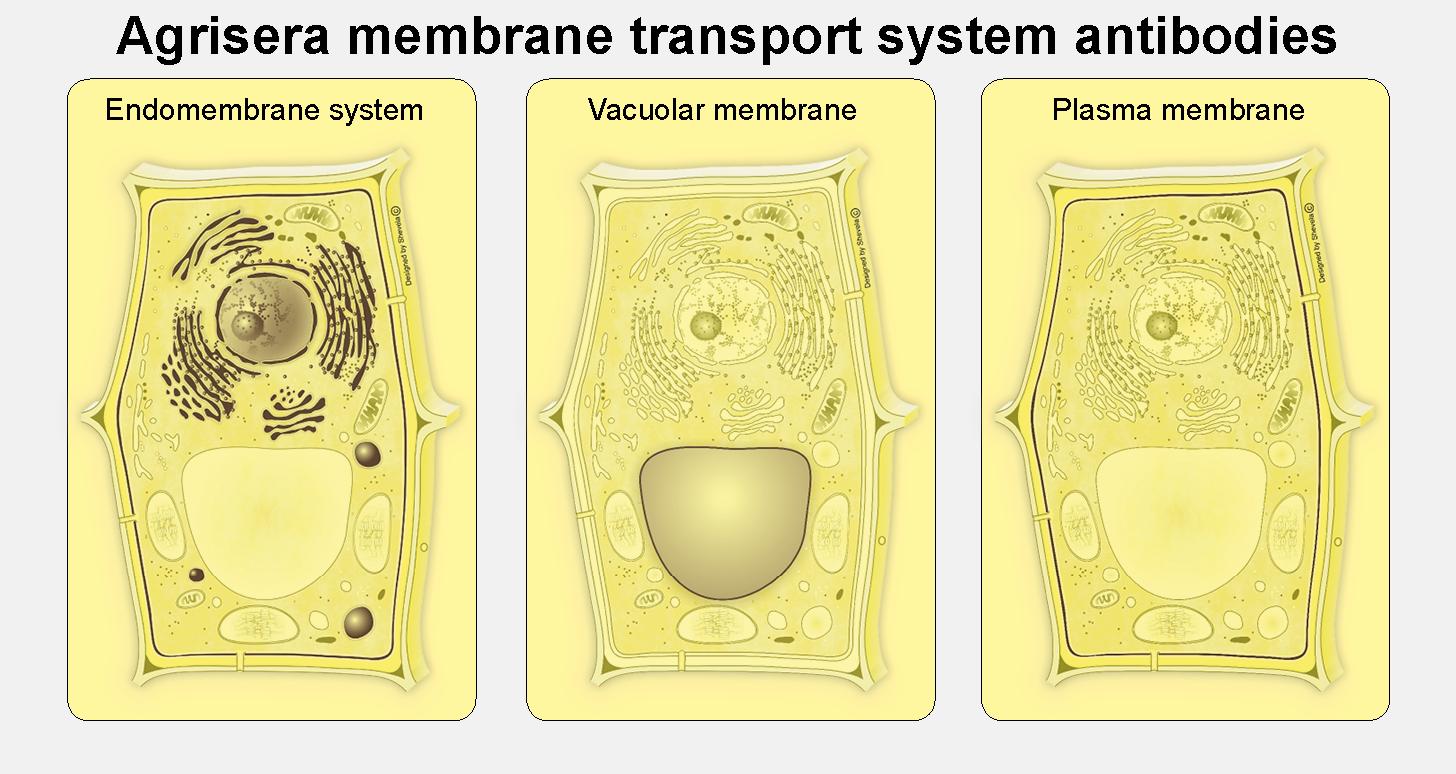 Membrane transport system antibodies