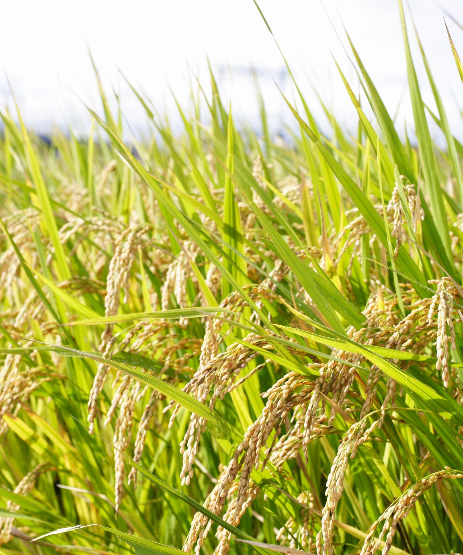 Rice - Agrisera antibodies