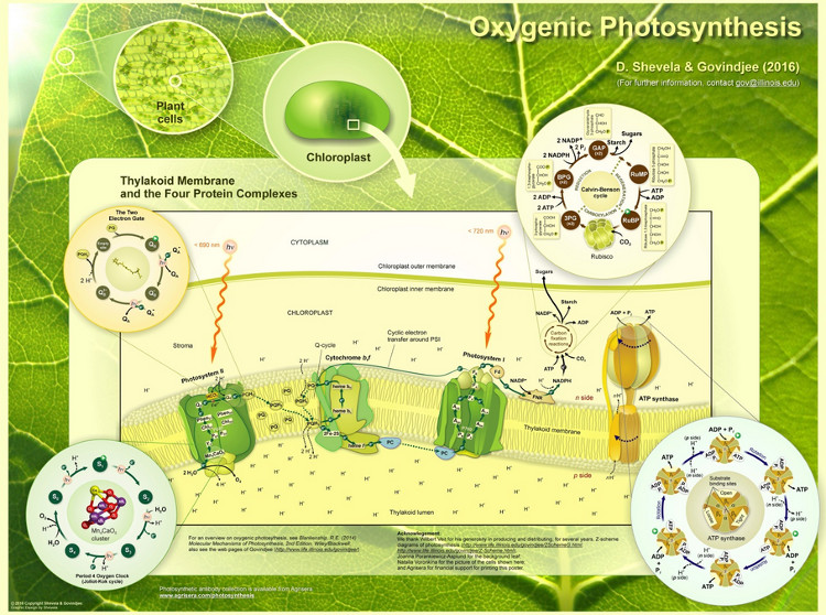 Oxygenic Photosynthesis Poster 2016