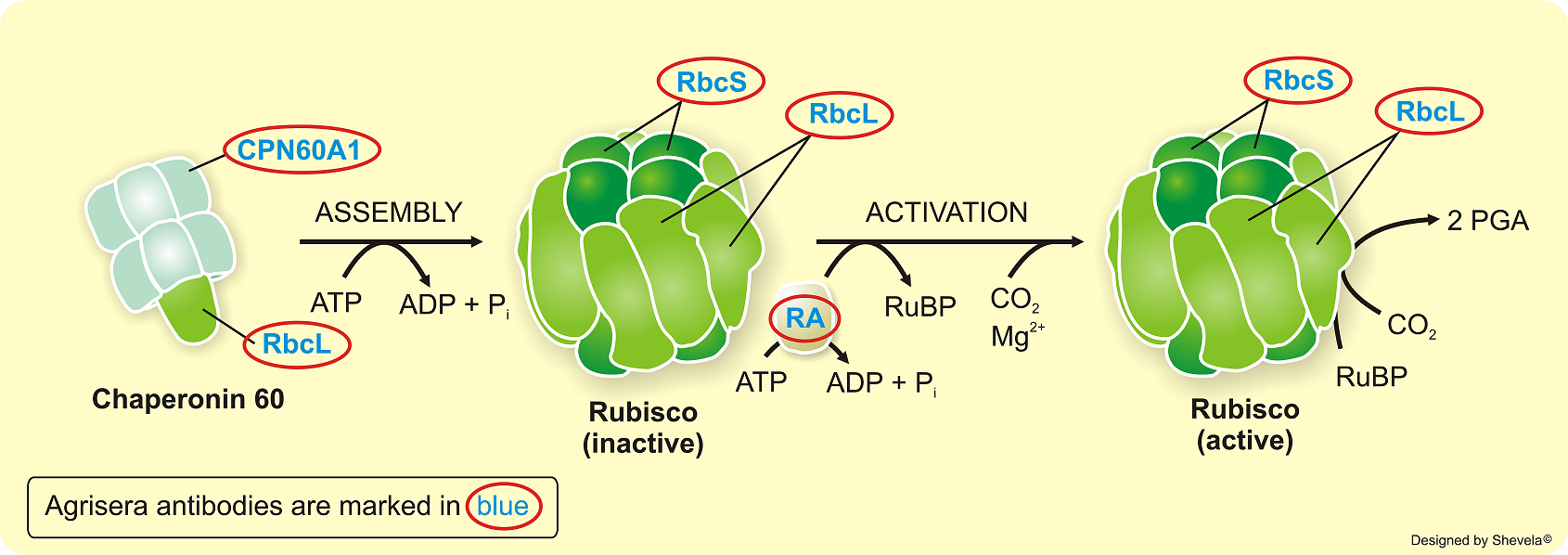 Scheme of Rubisco activation and corresponding antibodies