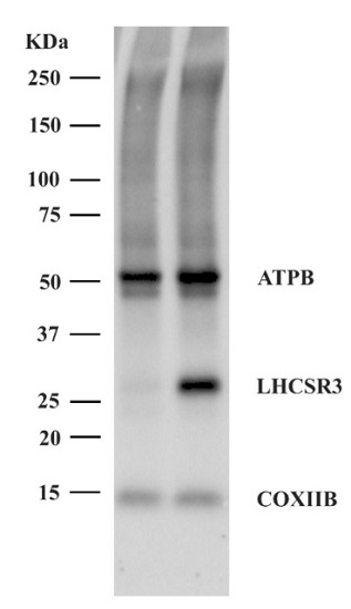 Western blot incubation of few primary antibodies at the same time