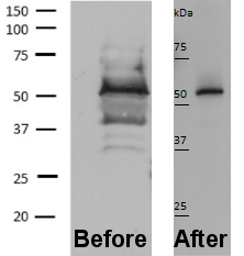 Is an antibody not specific or Western blot protocol not optimized?