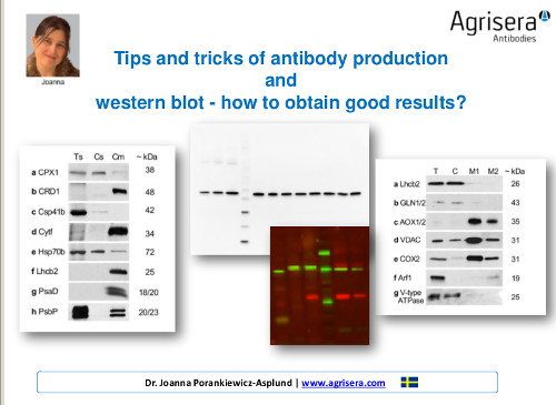 Agrisera antibody production and western blot workshop
