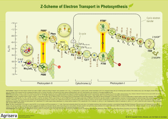 Z-Scheme of Electron Transport in Photosynthesis