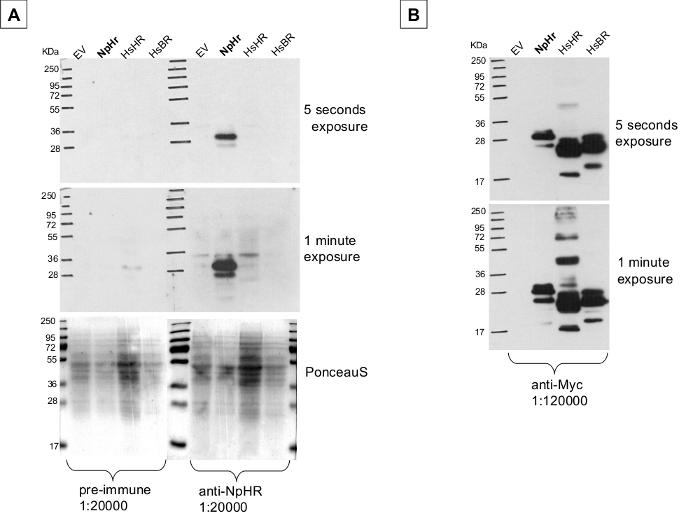 western blot using anti-NpHR antibodies