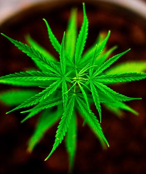 Cannabis Sativa - Agrisera antibodies