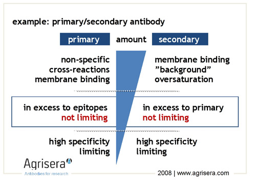Optimization Of Primary And Secondary Antibody Amount