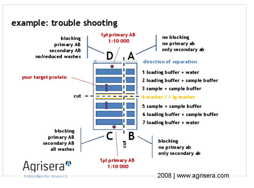 western blot trouble shooting scheme