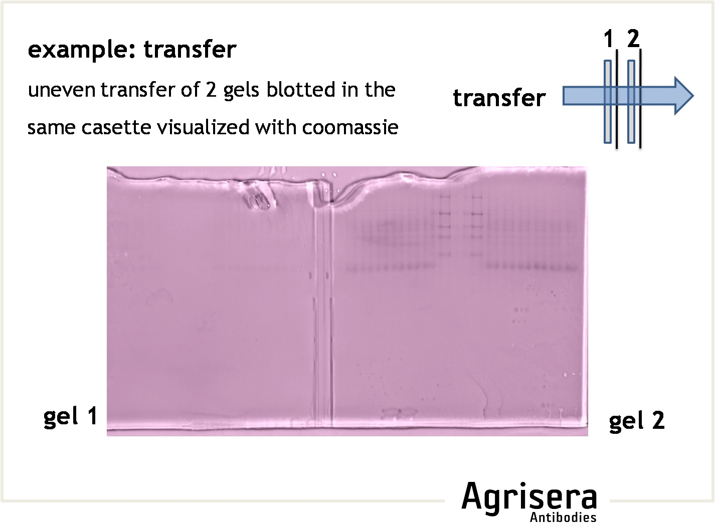 efficiency of protein transfer from a gel