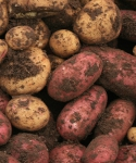 Potato - Agrisera antibodies