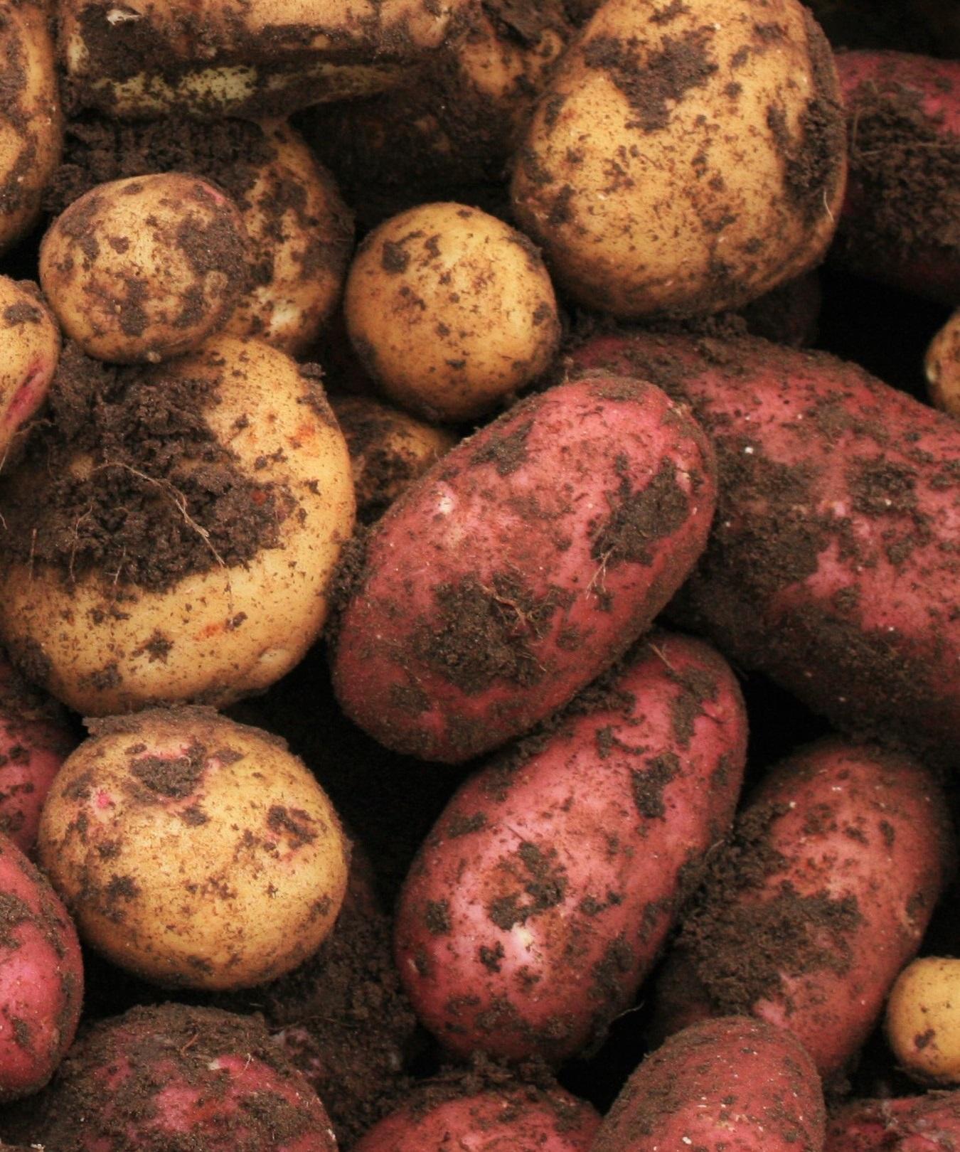 Potato - Agrisera antibodies