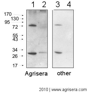 Secondary antibody comparison