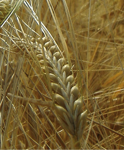 Barley - Agrisera antibodies