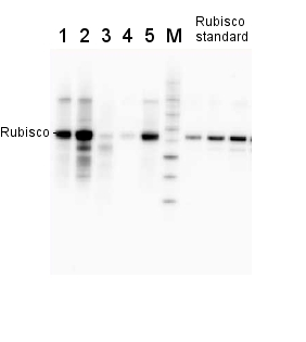 example of Rubisco quantitation